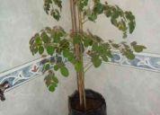 Vendo plantas en muda de moringa