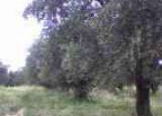 Finca de olivos