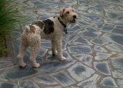 Perdida en escobar fox terrier