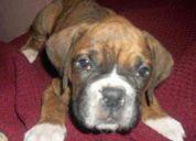 Urgente!! boxer cachorro perdido en moron