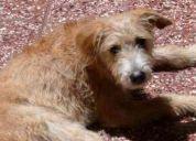 Cachorra perdida en villa urquiza