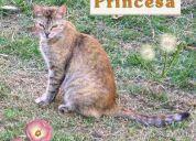 Princesa, gata hermosa en adopción