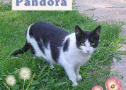 Pandora, gata hermosa en adopción