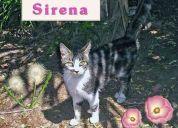 Sirena, gata en adopción