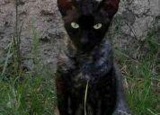 Gato perdido en escobar, castrado pelo corto y ondulado!!!! ayudame a volver con mi famili