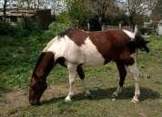 Vendo caballos muy manzos....tobiano colorado y colorado