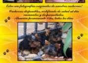 Caniche maltes yorkshire chihuahua 46537208  o al 1531670144