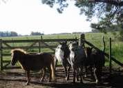 caballos, tropilla de petisos!!!