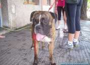 Encontre boxer atigrado en floresta