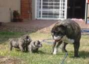 Bulldog ingles, super oferta cachorro bulldog ingles