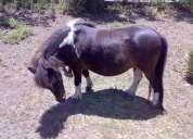 Pony manso vendo urgente!!
