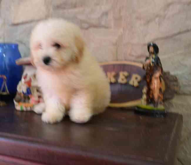 Cachorros de Caniche toy todo el año a la venta en zona sur