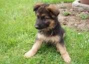 Vendo ovejero aleman cachorro 40 dias
