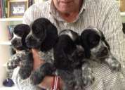 Cocker spaniel ingleses, muy buen pedigree, papeles fca