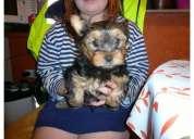 Hermosos yorkshire terrier