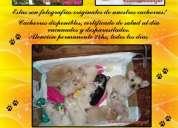 chihuahua mini de bolsillo tel 46537208