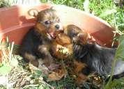 yorkshire terrier cachorros heartbreaker´s en lanús