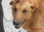 Encontrado: perro adulto mayor. marrÓn-dorado. muy carÍÑoso y educado.
